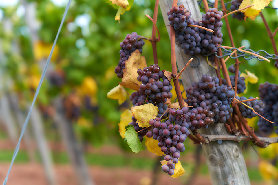Weinfotografie: Trauben | Fotostudio Lhotzky