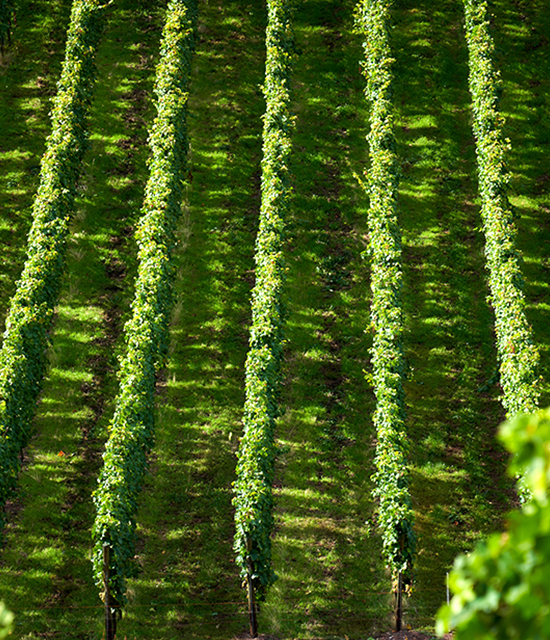 Weinfotografie: Weinreben | Fotostudio Lhotzky